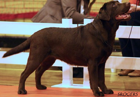 Labrador breeder england